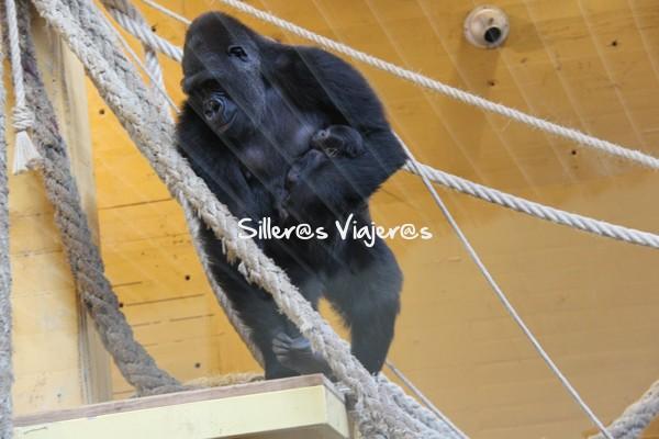 Nuevo gorila recién nacido en Cabárceno