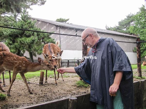 Alimentando a los ciervos de Nara.