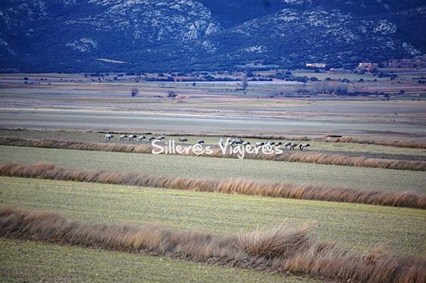 Grullas alimentándose en los campos de cultivo