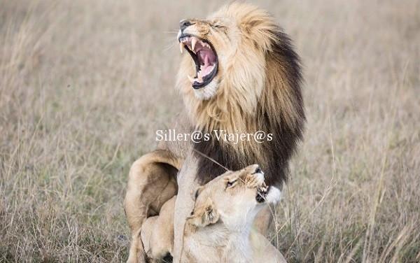 Pareja de leones