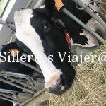 Primer plano de una vaca rumiando