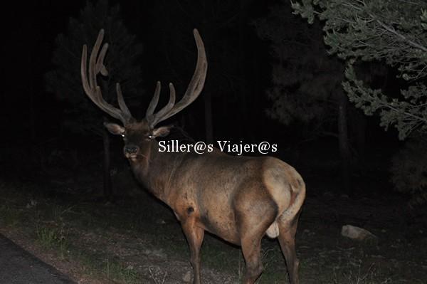 Enorme ciervo en el Gran Cañon