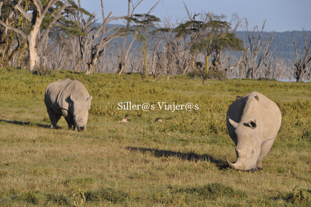 Pareja de rinocerontes blancos