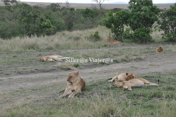 Grupo de leonas
