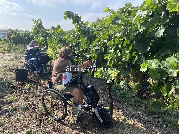 2 usuarios de silla de ruedas cortan uva en una viña